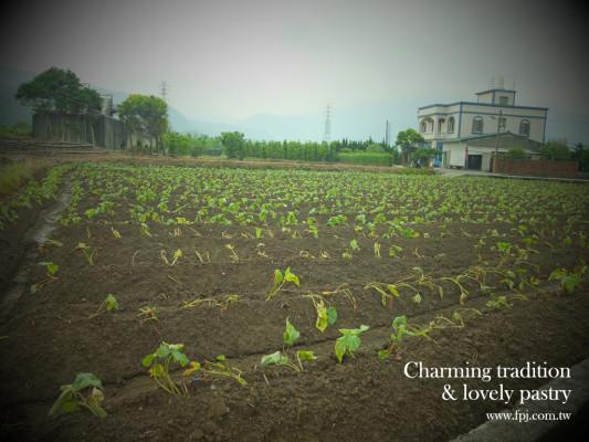 20140430 蕃薯田開始栽種-2